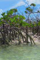 08 mangroves thumb sailn1 flickr