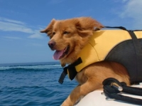 Dog in lifejacket 300